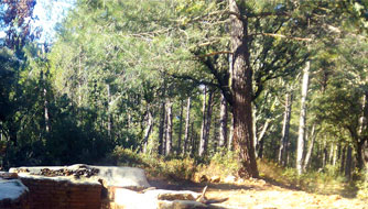 The Scots pine woods
