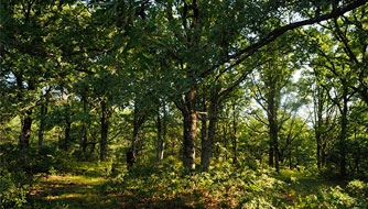 The oak forest