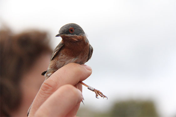 Ornitología anillamiento