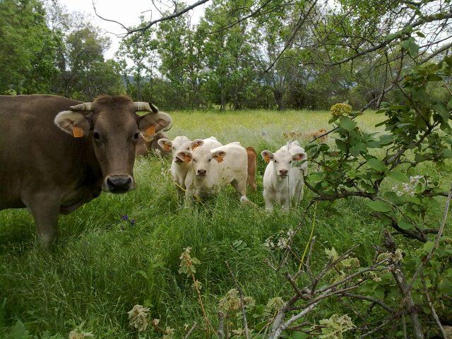 Vacas. Imagen cedida por Ayuntamiento Madarcos