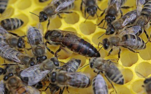 insect-fauna-invertebrate-queen-bee-honeycomb-1322901-pxhere.com