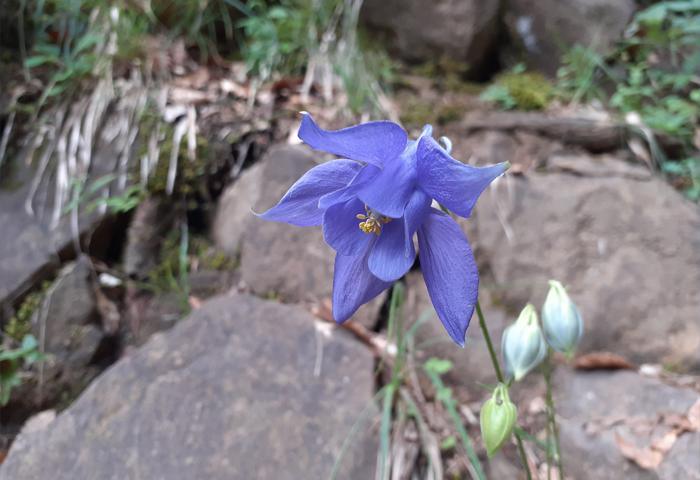 flores aguileña